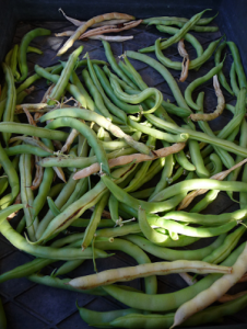 Bean pods drying out before cleaning, freezing then storing for next summer