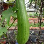 Mature luffa fruit ready to harvest