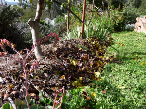 Mulching with autumn leaves under fruit trees