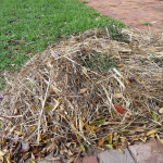 Mulching under a grape vine with straw mulch to reduce weeds, keep in moisture and encourage worm activity under the top soil layer.
