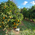citrus trees pruned and loaded with fruit
