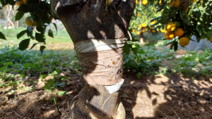 trunk banding to stop ant movement